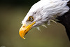 Looking Down (PeteWPhotography) Tags: bald eagle intense eye sharp feather