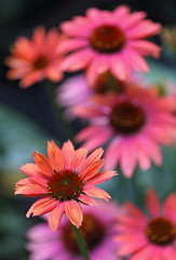 Summer Flashback (AnyMotion) Tags: easternpurpleconeflower purpursonnenhut echinaceapurpurea blossom blüte bokeh 2017 plants pflanzen anymotion nature natur blumen floral flowers frankfurt 6d canoneos6d garden garten colors colours farben pink rosa summer sommer été verano zomer estate ngc npc