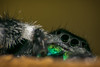 I Will Find You (learnliveinspire) Tags: phidippus spider insect bug arachnid scary horror beautiful bugs macro nature wildlife creepy spiders