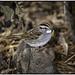 White Throat Sparrow_DSC1347 photoshop NIK edit © (nkatesphotography) Tags: peacevalleypark naturecenter fountainvillepa nikond500 nikonafs300mmf4epfedvr nikontc14elll nikonsu800controller 2nikonsb5000speedlights birds wildlife nature sparrows whitetaildeer