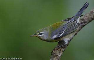 1-El chipe azul olivo norteño o parula norteña (Parula americana) es una especie de ave paseriforme de la familia Parulidae que anida en América del Norte y pasa el invierno en México, América Central y las Antillas.