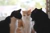 """Okay, here's the plan..."" (rootcrop54) Tags: idaho tuxedo male otis dilute orange ginger tabby masked batman cats cat kitchen counter neko macska kedi 猫 kočka kissa γάτα köttur kucing gatto 고양이 kaķis katė katt katze katzen kot кошка mačka gatos maček kitteh chat ネコ"