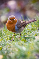 Mr Robin (_John Hikins) Tags: red robin bird birds wildlife woods nikon nikkor nature animal devon d500 dartmoor yarner grass bokeh sigma 150600mm 150600c 150600