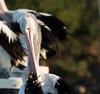 Preening pelican (up close) (petebond_au) Tags: conspicicillatus pelecanus pelican australian marina hastings estuarine bay westernport fish conservation aves class biodiversity plumage