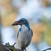 California Scrub-Jay with acorn