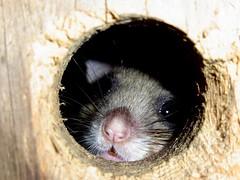 Bilch (michaelschneider17) Tags: tiere wildtiere natur kleinsäuger bilche