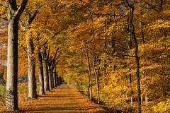 Golden Autumn colours (Mariannevanderwesten) Tags: ngc herfstkleuren autumncolours autumn herfst nature natuur nikon bos laan bomen roosendaal
