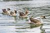 Ducks of Hermann Park (Zahidur Rahman (Thanks for the Favs, comments and ) Tags: animal bird duck texas houston hermanpark water waterflow flock waterfowl
