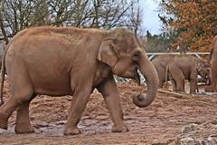 IMG_0795 (jaybluejeans94) Tags: chester zoo elephant elephants wild nature animal animals chesterzoo