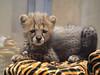 Posing (greekgal.esm) Tags: cheetah bigcat cat feline animal mammal carnivore cub babyanimal roketi sandiegozoosafaripark sandiegozoo safaripark escondido sony a77m2 a77ii
