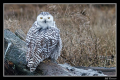 Snowy Owl-2 (billthomas_steel) Tags: owl snowyowl wildlife winter owlsofthepacificnorthwest canon canada britishcolumbia bird buboscandiacus