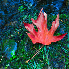 Summer end (cdnfish) Tags: cowichan cowichanvalley cowichanlake cobblehill vancouverisland bc britishcolumbia canada red green grass leaf sony sonya7m2 a7m2