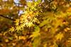 紅葉 Autumn leaves (takapata) Tags: sony ilce7m2 nature plant autmn leaves sel50f18f