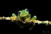 The Ghost (Megan Lorenz) Tags: ghostglassfrog glassfrog frog amphibian macro rainforest sachatamiailex nature wildlife wild wildanimals travel 2017 costarica mlorenz meganlorenz