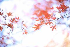 六義園 05 (sunuq) Tags: tokyo japan 日本 東京 canon eos 5dsr 六義園 紅葉 橋 rikugien 柿右衛門風 ペッツバール ロモグラフィ lomography zenit petzval