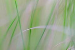 Calm (Barrie T) Tags: macro grass blur green home garden