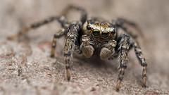 Evarcha hoyi jumping spider (Tibor Nagy) Tags: evarcha hoyi spider jumper jumpingspider salticid salticidae arachnid arthropod closeup flash diffused diffuser softbox macro