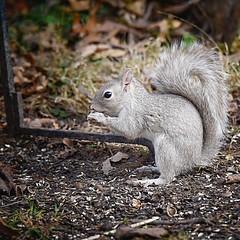 Eastern Gray Squirrel—Light Morph (JRWhitaker1) Tags: montgomerycounty maryland anomaly rodent mammal squirrel washingtonwestquad urbanwildlife suburban backyardwildlife chevychase