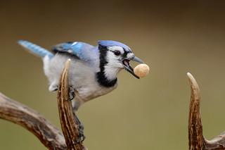 Blue Jay with Peanut-43072.jpg