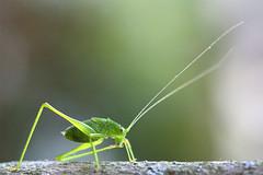 (jc.dazat) Tags: insecte insect sauterelle grasshopper sauterelleverte vert nature extérieur antennes photo photographe photographie photography canon jcdazat macro