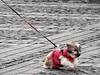 Let me go (Adi Berger Photo) Tags: dog street streetphotography red struggle nikon nikonp900 diagonal line