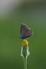 3L4A4460.jpg (Francois Berne) Tags: argusbleu papillonordrelépidoptère macro argus faune insecte
