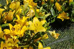Temps de flors_0095 (Joanbrebo) Tags: girona catalunya españa es tempsdeflors tempsdeflors2017 flors flores flowers fleur fiori blumen blossom efs1018mmf4556isstm canoneos80d eosd autofocus