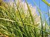Summer Felling (2) (alexis_schaffer) Tags: bladeofgrass day focusonforeground grass green nature plant backround