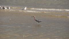 DSC04904 (Matthew283) Tags: bolvar wildlife 11182017 reddish egret