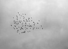 - (txmx 2) Tags: sky bird swarm flock hamburg