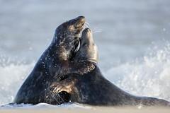 Grey Seal Fight (Daniel Trim) Tags: grey seal seals horey gap norfolk pupping beach halichoerus grypus adult male males fighting fight surf
