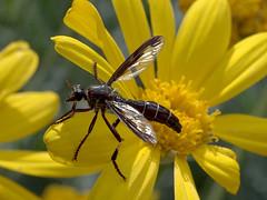 Robberfly (2 of 2) (Boobook48) Tags: robberfly toolangi victoria insect daisy yellow daptolesteslimbipennis taxonomy:binomial=daptolesteslimbipennis geo:country=australia