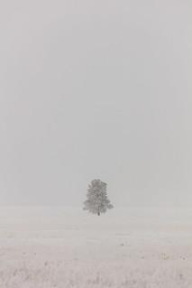 Lone tree in the fog at Lower Geyser Basin