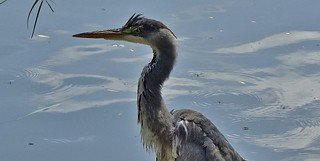 Germany, Vogelwelt am May-Eyth-See, Reiher, 75726/9205