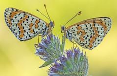 Melitaea... (Samuele81) Tags: melitaea farfalla fotografia fotografianaturalistica two due doppia macro macrofotografia natura nature ngc nikonnaturephotography nikon