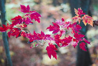 Acer turned Red