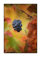 Petite grappe (Rémi Marchand) Tags: grappe vigne pinot canon5dmarkiii automne côtedor bourgogne france feuillage nature raisin cépagepinotnoir