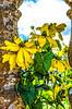 Rudbeckia at Montacute House, Somerset. (berenice29) Tags: rudbeckia montacutehouse somerset yellow nikond7000