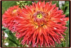 Dahlias (Ioan BACIVAROV Photography) Tags: dahlias bacivarov ioanbacivarov bacivarovphotostream interesting beautiful wonderful wonderfulphoto nikon