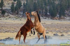 Wild Mustangs, Inyo county, California (Donald Quintana Nature Photography) Tags: inyocounty california bentonhotsprings easternsierra sage horse nature mammal stallion equestrian equine wild strong field meadow rearing galloping wildhorse