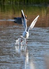 Gull take off (gillybooze (David)) Tags: ©allrightsreserved bird gull birdwatcher water outdoor lake bif wings reflection dof bokeh splash wigeon