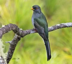 Papagayo /Kalson Wouj/ Hispaniolan Trogon (Priotelus roseigaster) (Francisco Alba Suriel) Tags: priotelusroseigaster