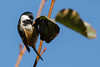 229.jpg (Kico Lopez) Tags: carbonerogarrapinos miño lugo aves galicia birds periparusater spain rio