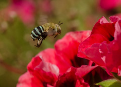 Blue Banded Bee (m&em2009) Tags: blue banded bee strpes bands nature insects nikon 60mm d7000 australia