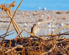 Falco Gheppio (Giovanni Santori) Tags: gheppio animali ambiente natura mare foce fiume