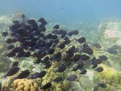 IMG_0850 (adrienweckel) Tags: acanthuruscoeruleus adrienweckel chirurgienbleu poissons