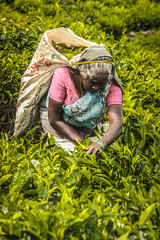 Beautiful old lady plucking tea leaves in the middle of such greenery. #ooty #india #oldlady #greenery #tealeafplucker #nature #green #tealeaf #tea (prashanthpinha1) Tags: nature tea oldlady india greenery tealeafplucker green tealeaf ooty
