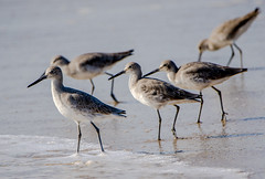Willet group - Frisco Pier (MurrayH77) Tags: nc obx hatteras island outer banks frisco