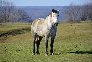Amish Farm Horse. New Wilmington, PA