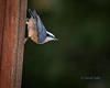 Hangin out in the Rain (ausmc_1) Tags: yard november portalberni tamron70200dispusdvc d800 2017 sb900 redbreastednuthatchsittacanadensis vancouverisland outdoor birds britishcolumbia canada feeder